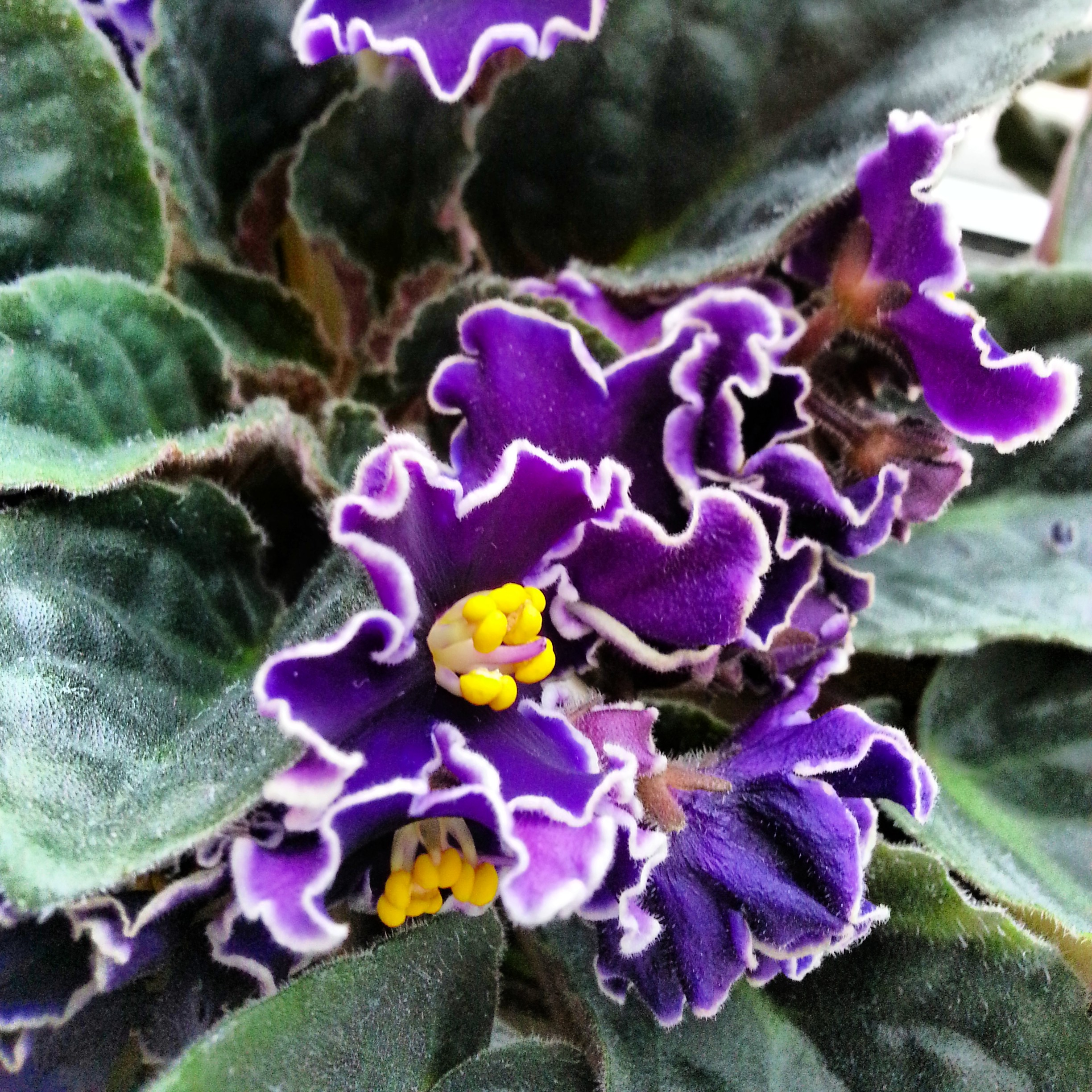 Caregiver Stress Relief Photo of the week Violets