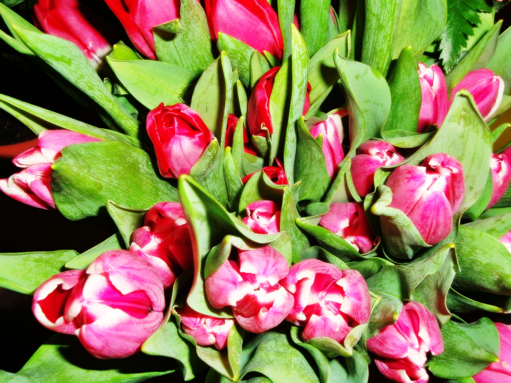 Caregiver Stress Relief Photo Pink Tulips