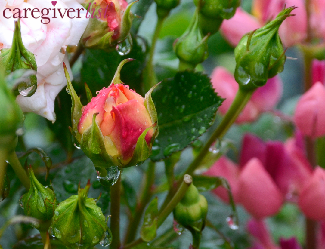 Raindrops on Roses: Stress Awareness Photo