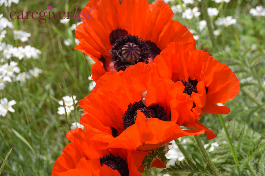 Poppies in Bloom for Caregiver Stress Relief